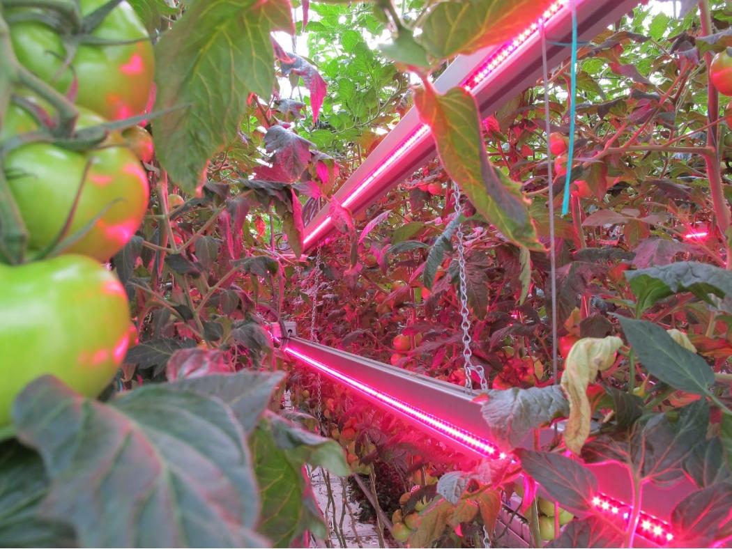 Фитоосвещение грядки помидоров